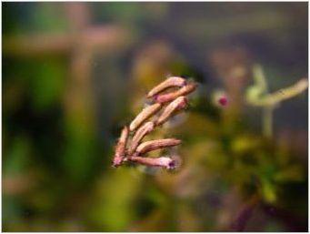 Криптокорина: сортове, грижи и репродукция