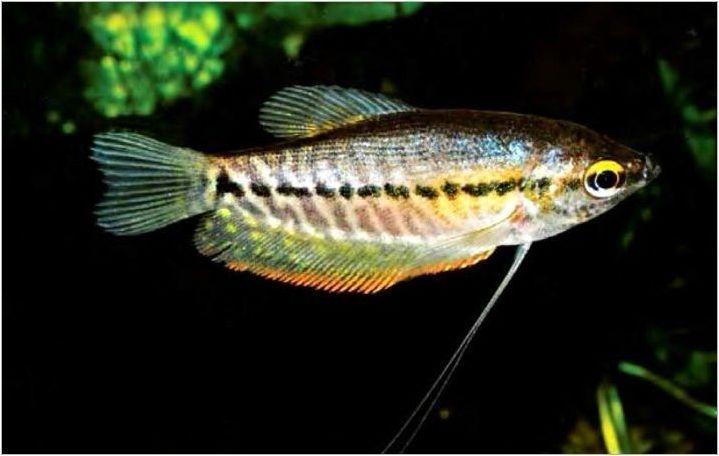 Лабиринтска риба: Какво се случва и как да се грижим за тях?