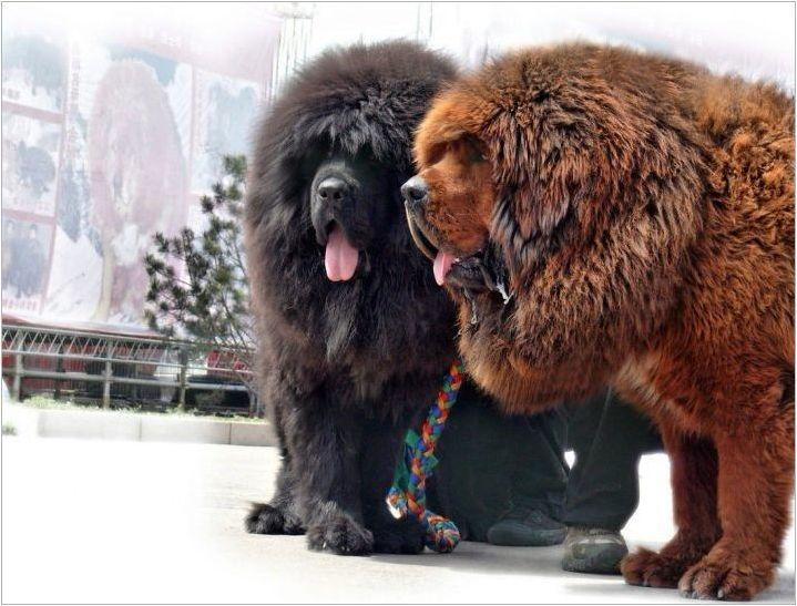 Най-големите тибетски мастифи