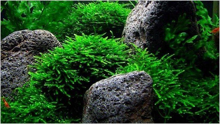 Непретенциозни аквариумни растения: разновидности, избор и грижа