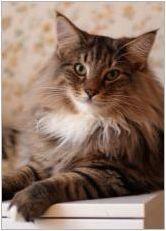 Норвежка гора котка: описание, съдържание и разплод