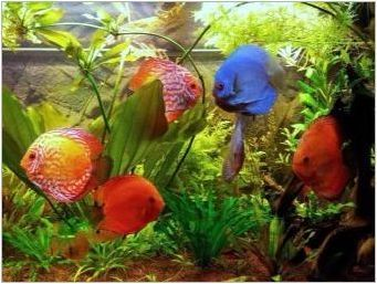 Обсъдете: описание и видове риба, съдържание в аквариума и грижи