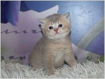 Описание и култивиране на шотландски котки от лилав цвят