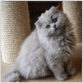 Описание и съдържание на белите шотландски котки