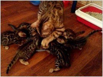 От храненето на бенгал коте и възрастна котка?