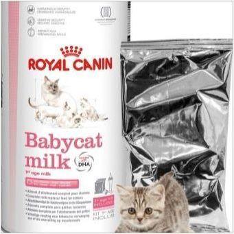 От храненето на котенца на британската порода?