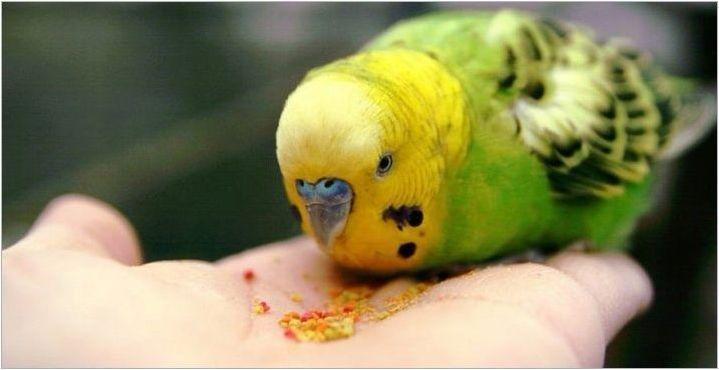 От храненето на вълнообразен папагал?