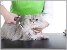 Персийски Чинчила: описание на породата и характера на котките