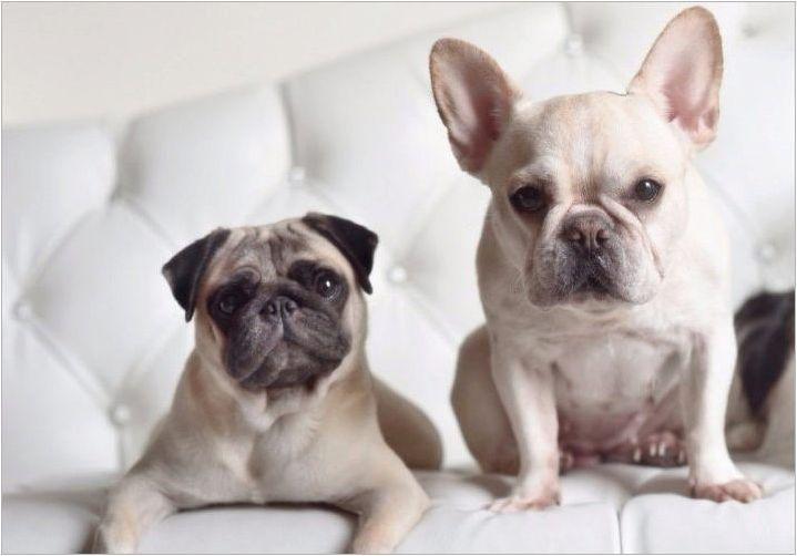 Пъг и френски булдог: Кой да избере?