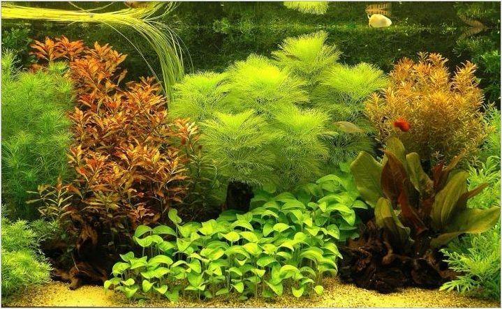 Плаващи аквариумни растения: разновидности, избор и особености