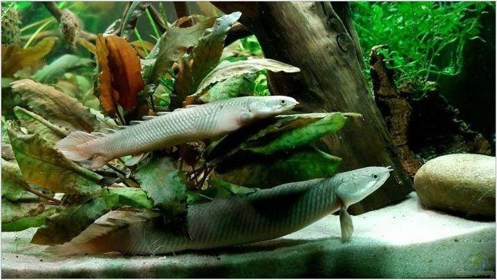 Полипут: Характеристики, сортове и рибно съдържание