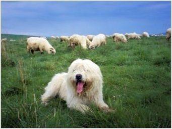 Полски овчари: описание на породите, хранене и грижи