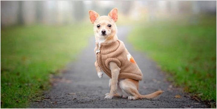 Популярни и интересни имена за момичета Chihuahua