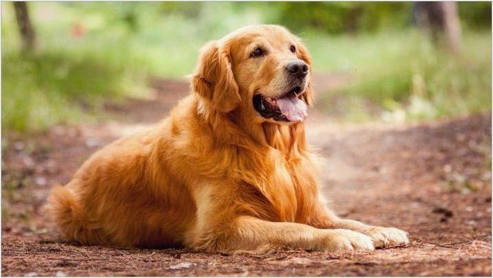 Породи за кучета, подобни на лабрадорите