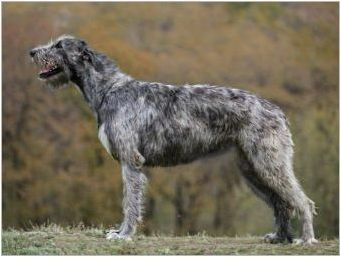 Преглед на немски пилекони за кучета