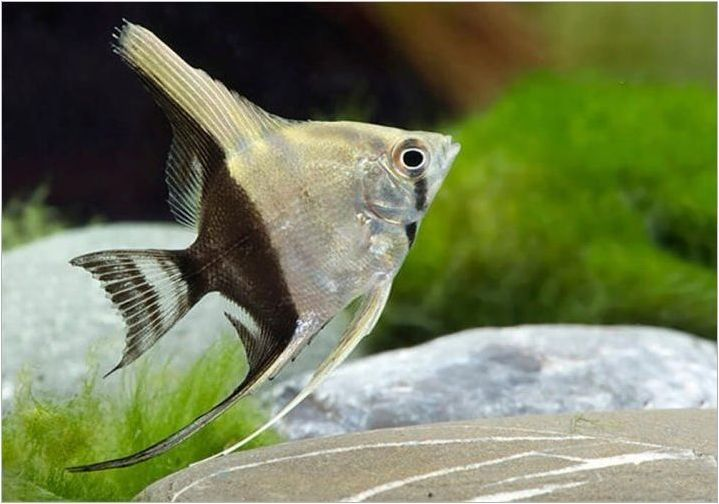 Преглед на популярните видове скалар и техните породи