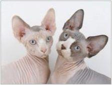 Продължителността на живота на котките на сфинската порода и начините за разширяване