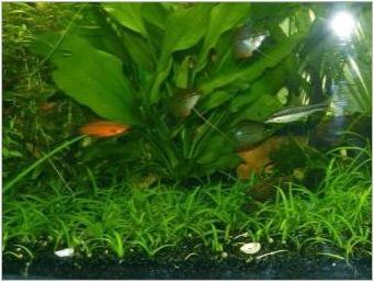 Растения на нивото на звука в аквариума