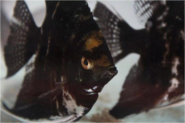 Scalaria Black: каква рибка изглежда и как да се грижи за тях?