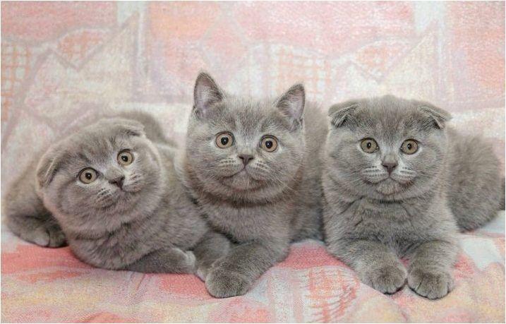Сгънете котките сив цвят