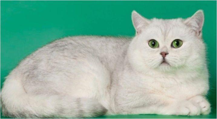 Шотландски чинчила: вариации на цвят, характер и условия на котки