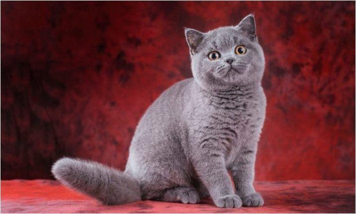 Списък с имена за британски сиви котки