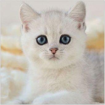 Сребърен британски чинчила: описание и съдържание на котка