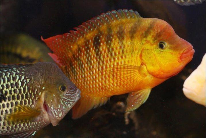 Ternection Glofish: Съдържание, размножаване и грижа