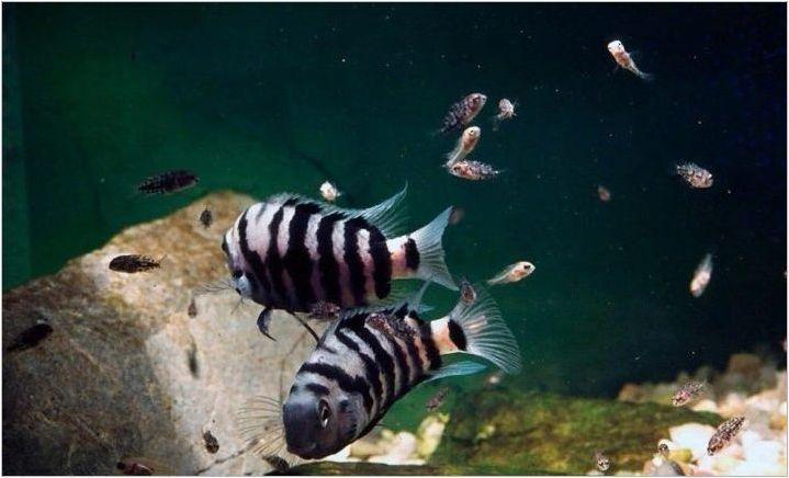 Tsichlasoma Чернокоси: характеристики, особености на грижа и размножаване