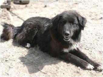 Tuvina овчари: описание на породата и характеристиките на кучетата