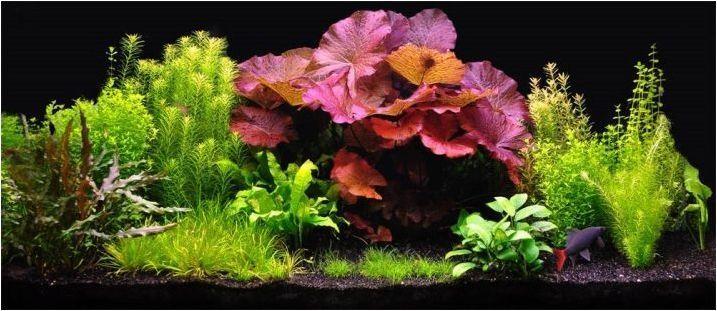 Видове аквариумни растения