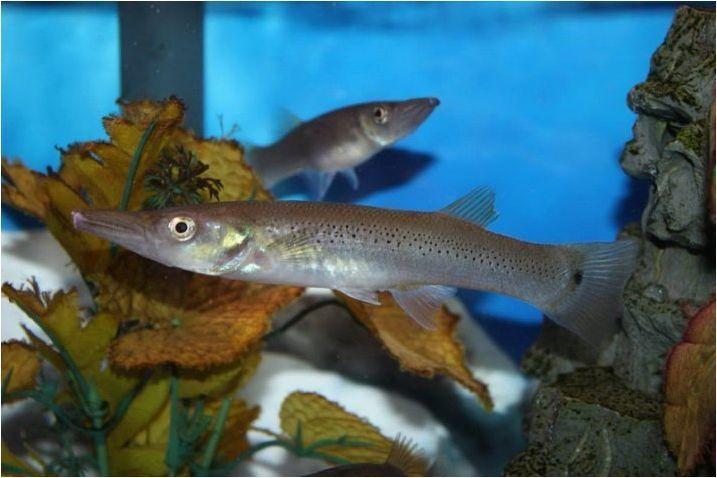 Вълна риба: сортове, избор и грижи