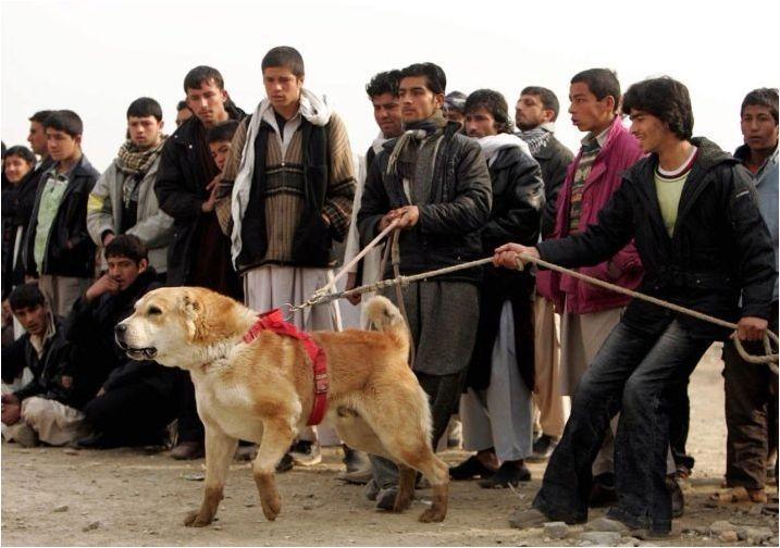 Всичко за афганистанските овчари