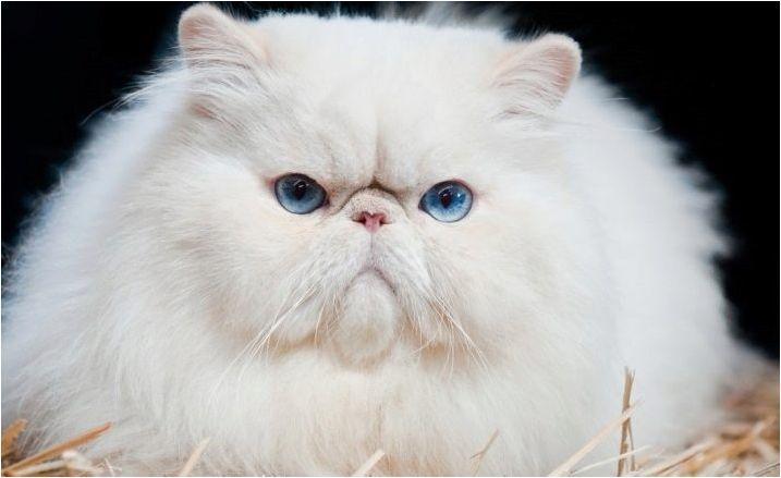 Всичко за белите персийски котки и котки