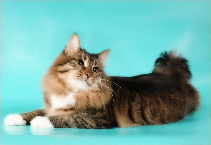 Всичко за котките размножават американския бобтайл