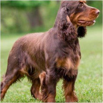 Watchhund: Главни характеристики и условия за съдържание на кучета