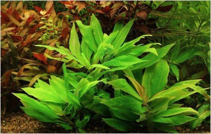 Завод за аквариум Lemongrack: избор, отглеждане и размножаване