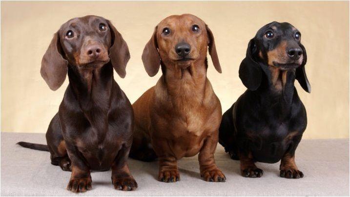 Зъби на данъците: когато се променят от кученце и как да се грижат за тях?