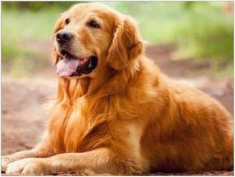 Характерът на Телец, роден в годината на кучето