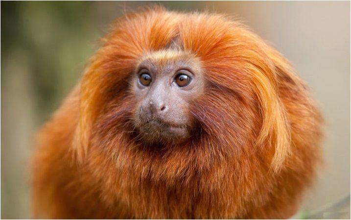 Monkey жени: описание на характера, постижения в кариерата в любовта