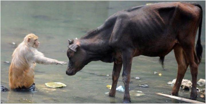 Мъжки бик: години на раждане, характеристики и съвместимост