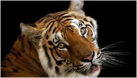 1986 - годината на животното и какво е характерно за него?