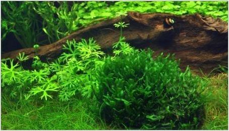 Чернодробен мъх в аквариума: как да се засаждат и внимателно да се грижат за него?