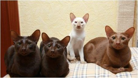 Яванаска котка: как изглежда и как да се грижи за нея?