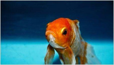 Как да разграничим жена златна рибка от мъж?