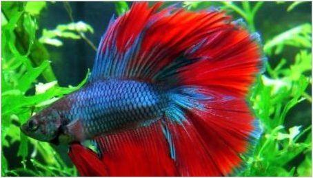 Какво и как да нахраним рибения петел?