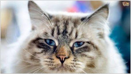 Ragamafhin: описание на котките порода, съдържание и разплод
