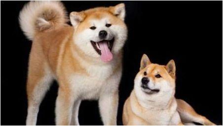 Siba inu и akita inu: каква е разликата?