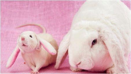 Съвместимост на заек (котка) и плъхове на източния календар